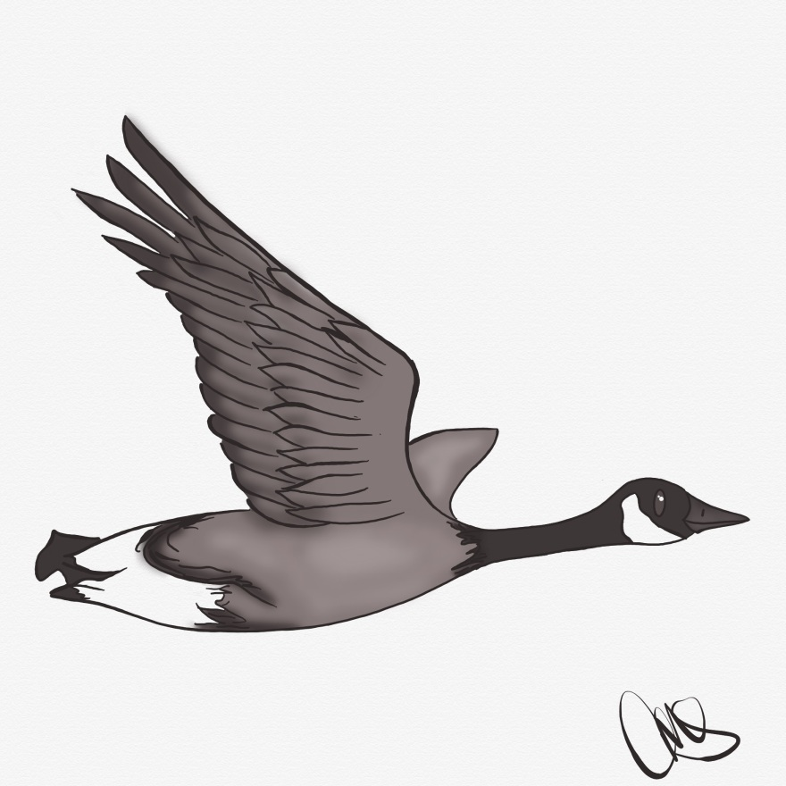 black and white image of goose flying